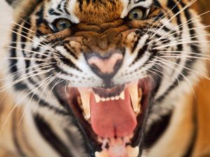 tiger-face-snarl-hiss-close-up_20246_990x742