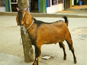 Goat in India