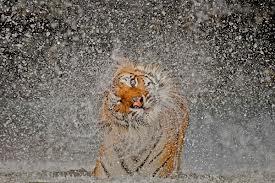Tiger rain
