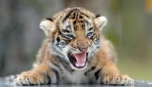 Tigerfiercebaby
