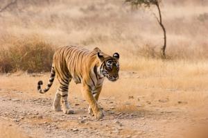 TigerWalkingCloserHg