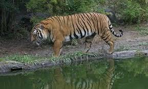 Healthy Tiger