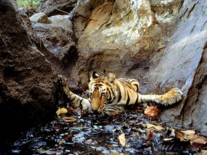 indian-tiger_1431_990x742