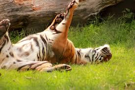 Tiger back