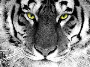 Tiger-Wallpaper-tigers-16120028-1024-768