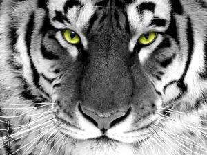 Tiger-Wallpaper-tigers-16120028-1024-768