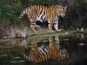 tiger_river_mirror_1600x1200